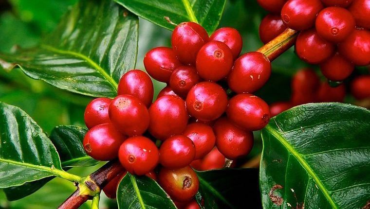 drupe (bacche di caffè)